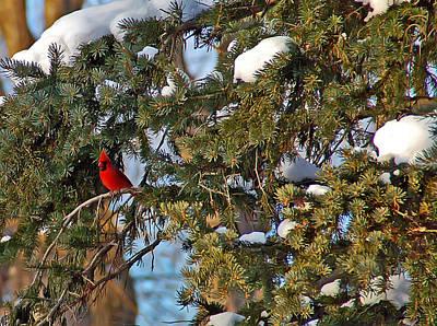 Pine Photograph - Christmas Cardinal by Aimee L Maher Photography and Art Visit ALMGallerydotcom