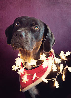 Catahoula Photograph - Christmas Catahoula by Kristyna Novakova