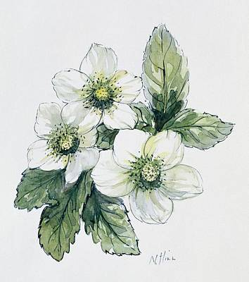 Blooming Drawing - Christmas Rose by Nell Hill