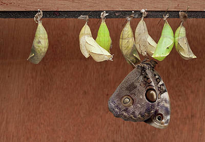 Chrysalises Of Large Owlet Butterfly Print by Thomas Wiewandt