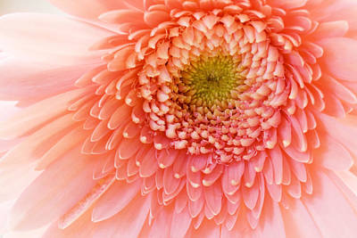 Flower Photograph - Chrysanthemum by Alexey Stiop