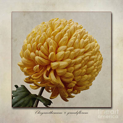 Macro Digital Art - Chrysanthemum Grandiflorum Yellow by John Edwards