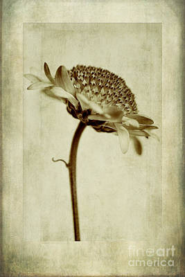 Chrysanthemum In Sepia Print by John Edwards