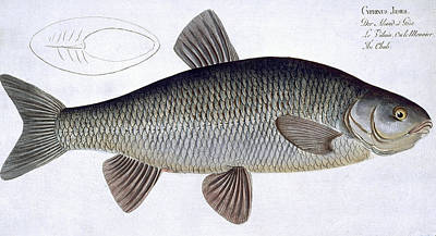 Angling Drawing - Chub by Andreas Ludwig Kruger