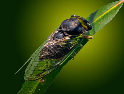 Cicada Print by Brian Stevens
