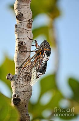 Macro Photograph - Cicada On Fig Tree by George Atsametakis