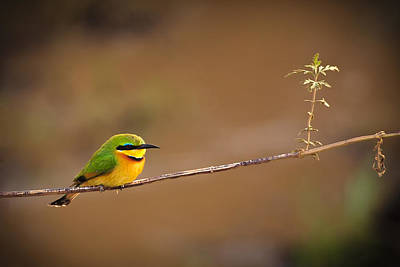 Yellow Photograph - Cinnamon-chested Bee-eater by Adam Romanowicz