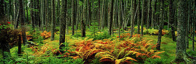 Cinnamon Ferns And Red Spruce Trees Print by Panoramic Images