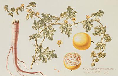 Vines Painting - Citrullus Colocynthius by Claude Aubriet