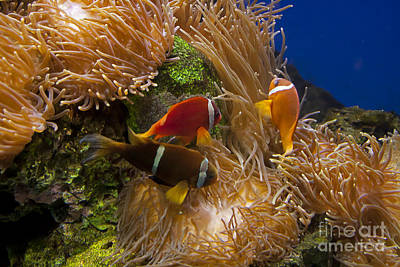 Clarks Anemonefish Photograph - Clark's Anemonefish And A Tomato Clownfish   #5196 by J L Woody Wooden