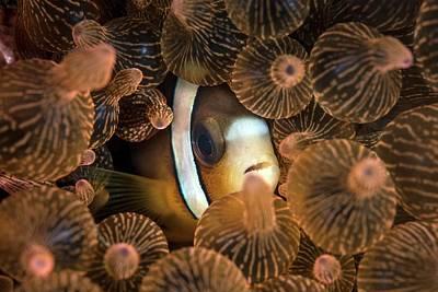 Clarks Anemonefish Photograph - Clark's Anemonefish by Ethan Daniels