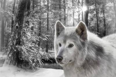 Beautiful Scenery Digital Art - Clarks Wolf by Lori Deiter
