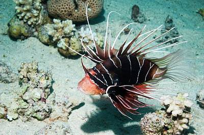 Clearfin Lionfish By A Reef Print by Georgette Douwma