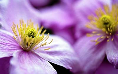 Clematis 'broughton Star' Flowers Print by Ian Gowland