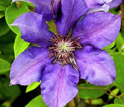 Clematis 'burma Star' Print by Ian Gowland