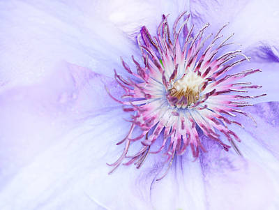 Adjectives Photograph - Clematis In Spring by Nancy Helmer