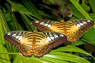 Clipper Butterflies Print by Millard H. Sharp