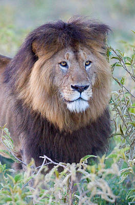 Wildcat Photograph - Close-up Of A Black Maned Lion by Panoramic Images