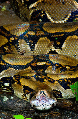 Boa Constrictor Photograph - Close-up Of A Boa Constrictor, Arenal by Panoramic Images