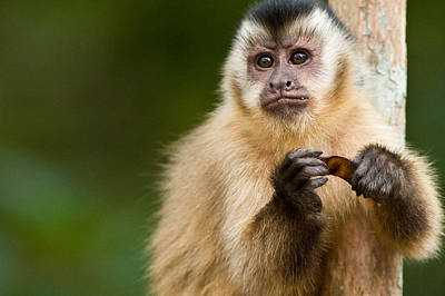 Wetlands Photograph - Close-up Of A Brown Capuchin Cebus by Panoramic Images