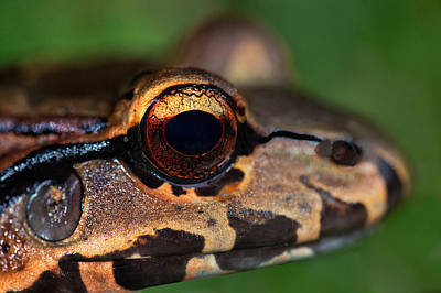 Bullfrogs Photograph - Close-up Of A Bullfrog, Tortuguero by Panoramic Images