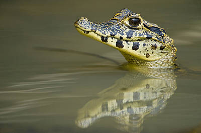 Wetlands Photograph - Close-up Of A Caiman In Lake, Pantanal by Panoramic Images