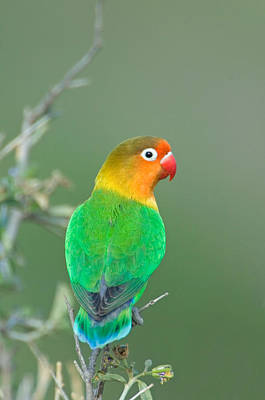 Lovebird Photograph - Close-up Of A Fischers Lovebird by Panoramic Images