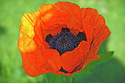 Indiana Photograph - Close-up Of A Flowering Orange Poppy by Rona Schwarz
