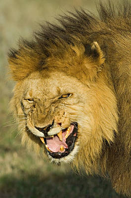 Close-up Of A Lion Snarling, Ngorongoro Print by Panoramic Images