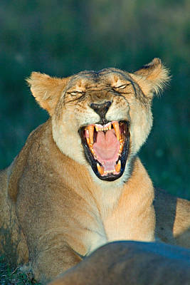 Close-up Of A Lioness Roaring Print by Panoramic Images
