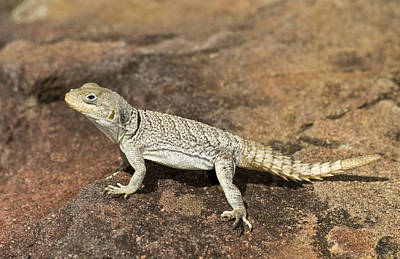 Madagascar Photograph - Close-up Of A Lizard Oplurus Cyclurus by Panoramic Images