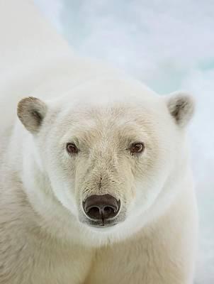 Close Up Of A Polar Bears Head Print by Peter J. Raymond