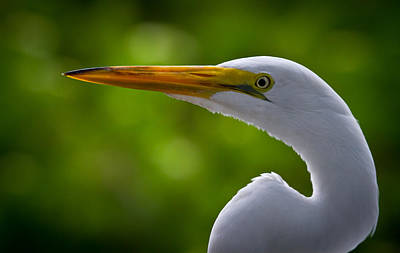 Close Up Of A Snowy Egret Print by Andres Leon