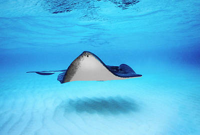 Sea Animals Photograph - Close-up Of A Southern Stingray by Panoramic Images