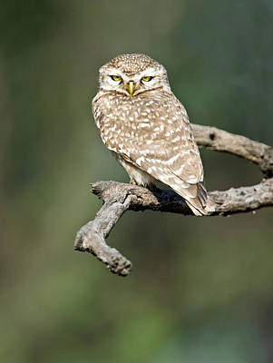 Owlet Photograph - Close-up Of A Spotted Owlet Strix by Panoramic Images