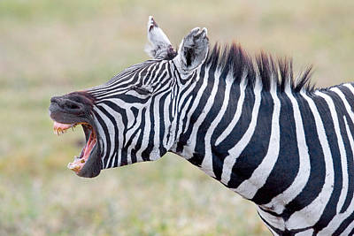 Close-up Of A Zebra Braying, Ngorongoro Print by Panoramic Images