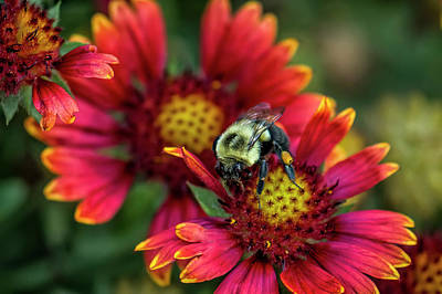 Close-up Of Bumblebee With Pollen Print by Rona Schwarz