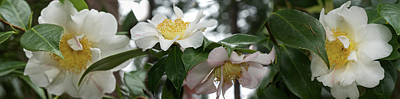 Stamen Photograph - Close-up Of Details Of Camellia Flowers by Panoramic Images