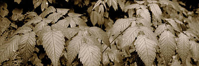 Oswald Photograph - Close-up Of Leaves, Oswald West State by Panoramic Images