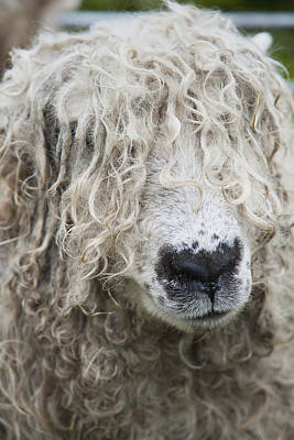 Simple Beauty In Colors Photograph - Close-up Of Leicester Longwool Sheep by Naki Kouyioumtzis