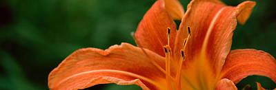 Daylily Photograph - Close-up Of Orange Daylily Hemerocallis by Panoramic Images