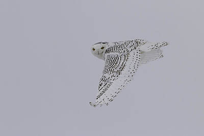 Owl In Flight Photograph - Close Up Of The Ghost Flight by Thomas Young