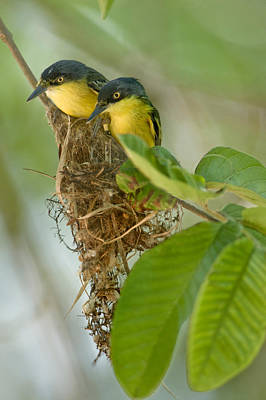 Flycatcher Photograph - Close-up Of Two Common Tody-flycatchers by Panoramic Images