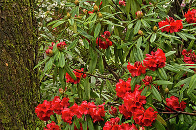 Close-up, Rhododendrons, Crystal Print by Michel Hersen