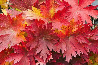 Closeup Detail Of Autumn Foliage Kodiak Print by Kevin Smith