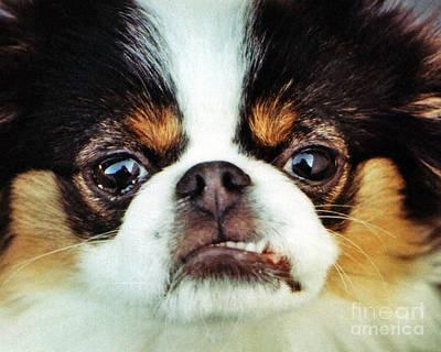 Japanese Chin Photograph - Closeup Of A Japanese Chin Dog by Jim Fitzpatrick