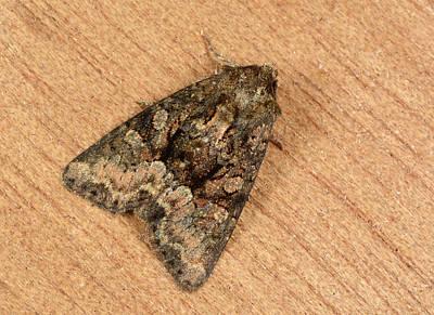 Clouded Brindle Moth Print by Nigel Downer