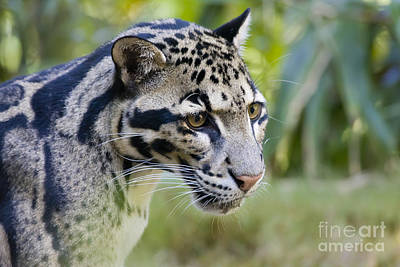 Clouded Leopard Photograph - Clouded Leopard by Brian Jannsen