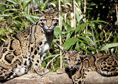Clouded Leopard Photograph - Clouded Leopards by Brian Jannsen