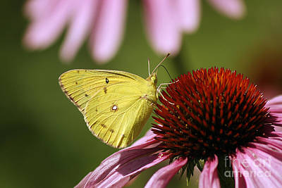 Maine Meadow Photograph - Clouded Sulphur by Cindi Ressler